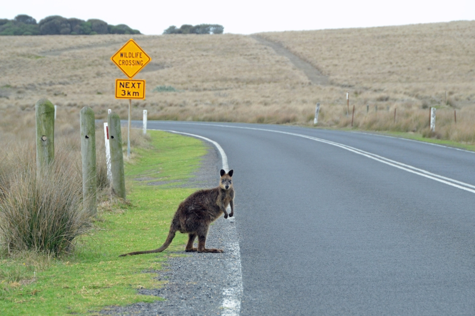 Phillip Island Wallaby Crossing photo by John Ecker pantheon photography